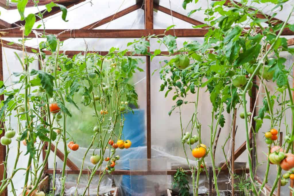 Eckiges Foliengewächshaus mit Tomaten