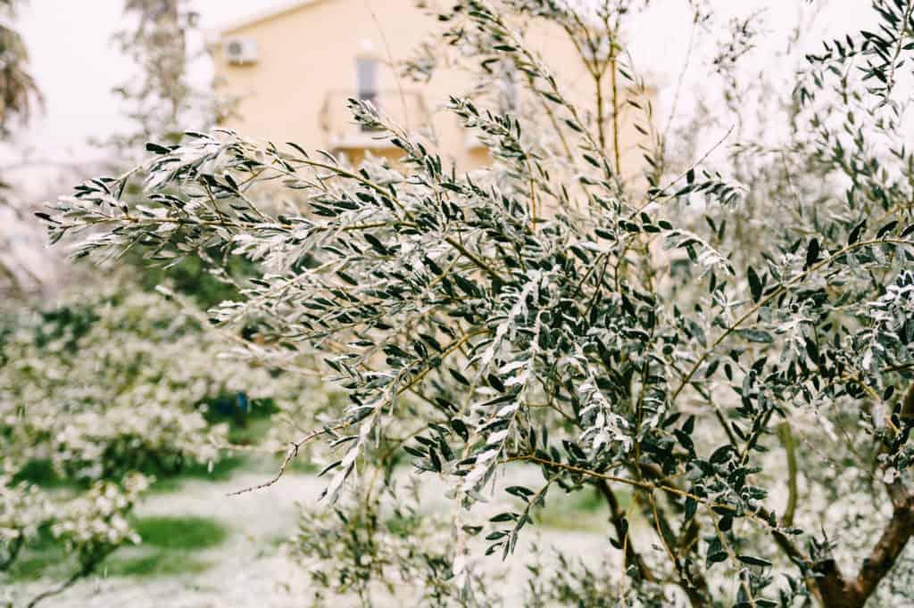 Olivenbaum mit Eis