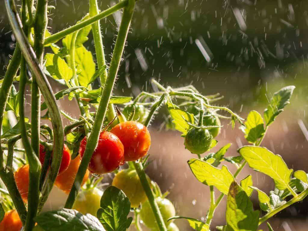 Tomaten im Regen