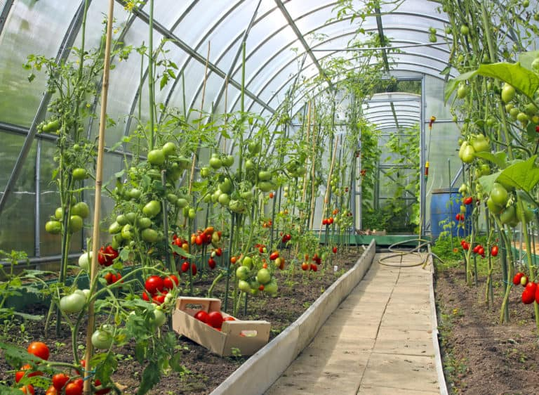 Gemüse im Gewächshaus