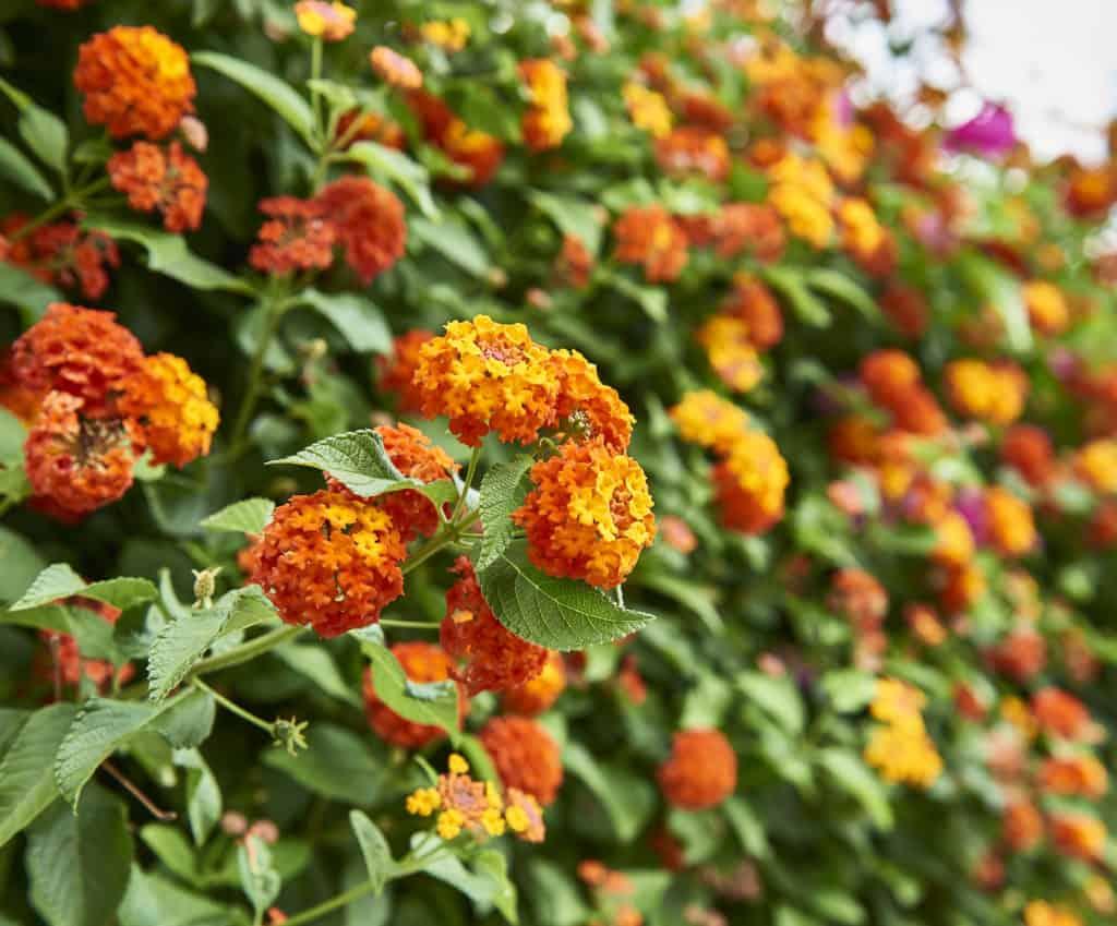 Wandelröschen Blume