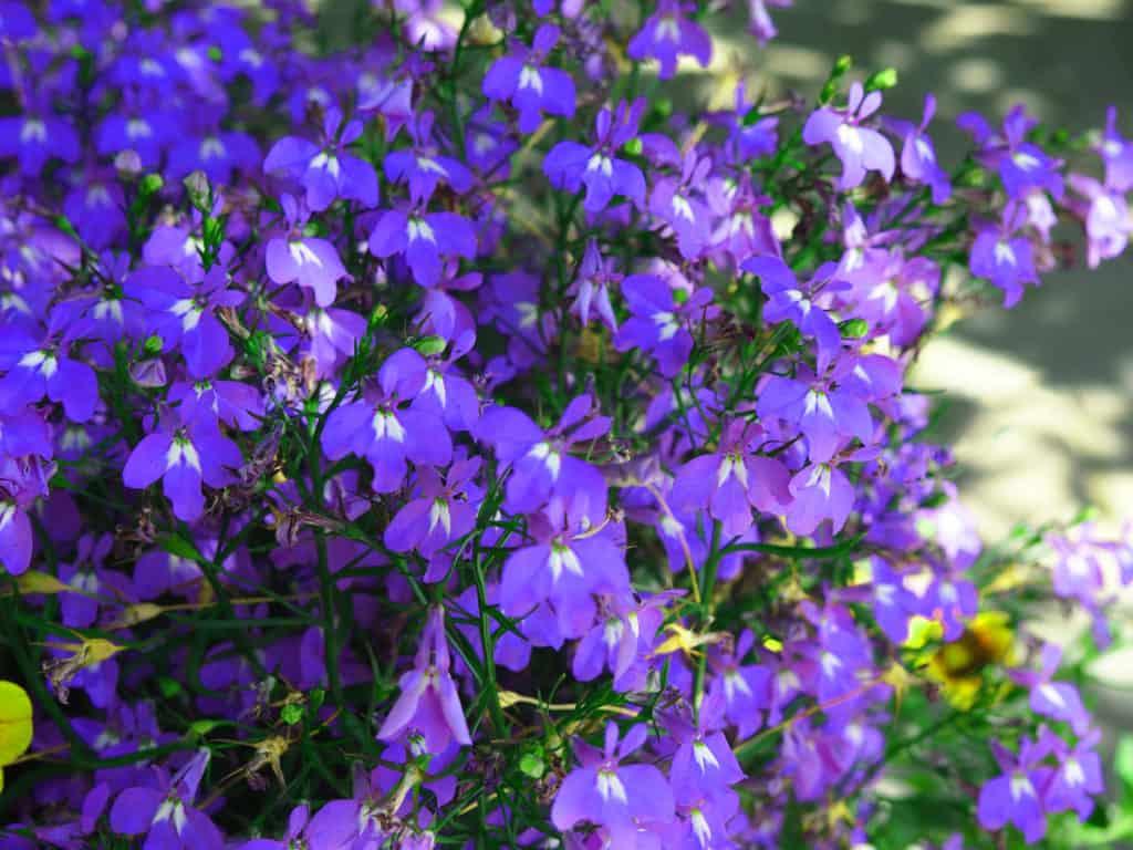 Männertreu in voller Blüte