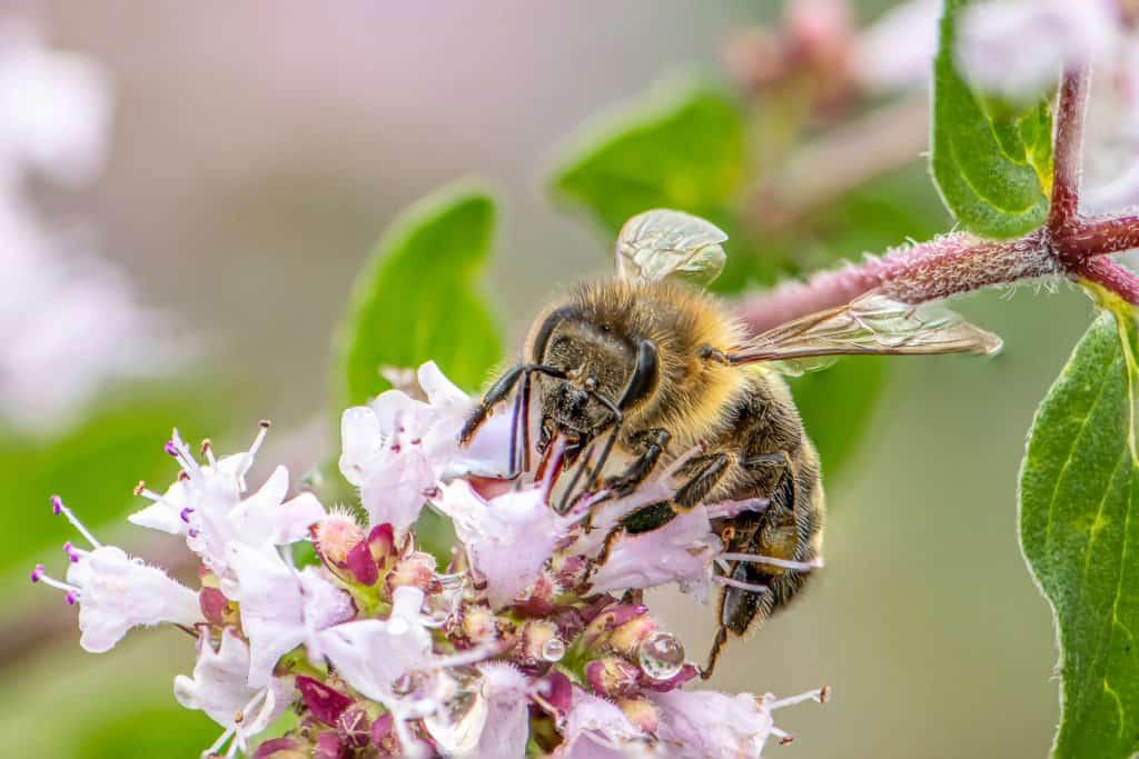 Nahaufnahme einer Honigbiene, die Nektar aus den Blüten einer Oregano-Pflanze in einem Bio-Garten holt