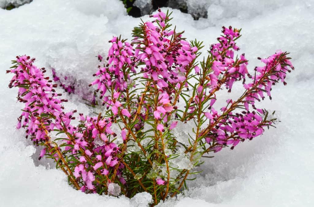 Blühende Schneeheide
