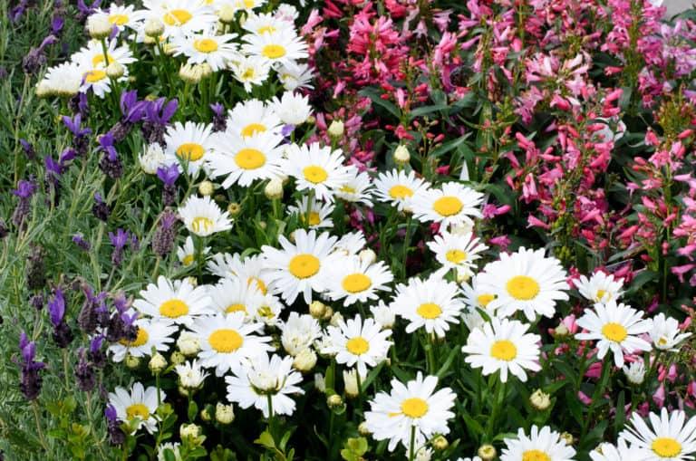 Beet mit bienenfreundlichen Balkonpflanzen
